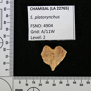 Chamisal fish bone S. platorycnhus sp