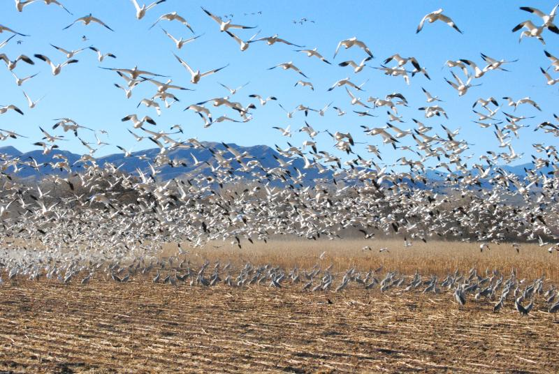 Snow geese fly while Sandhill Cranes forage at Sevilleta National Wildlife Reserve photo by Robin Cordero