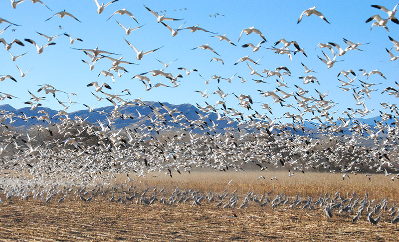 Snow Geese fly while Sand Hill Cranes forage at Sevilleta National Reserve, photo Robin Cordero