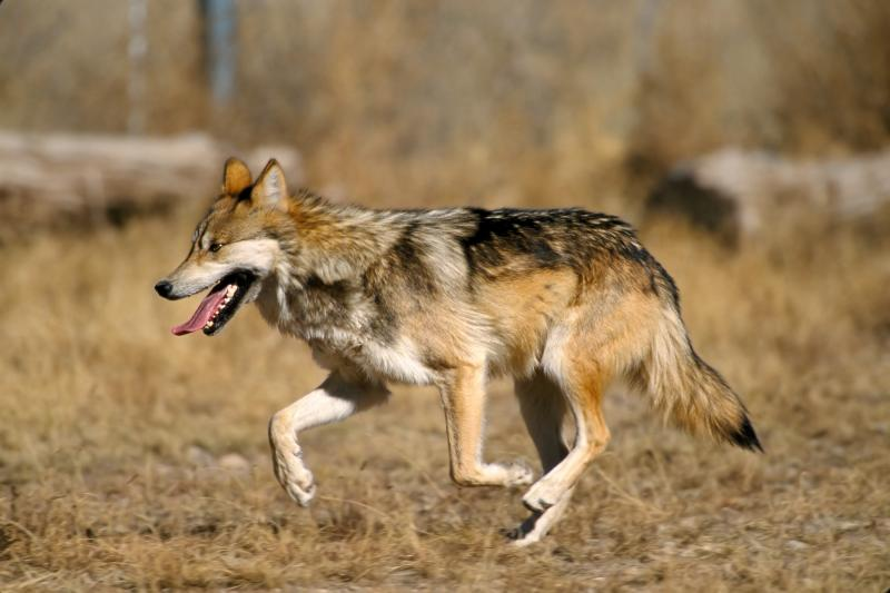 Mexican wolf in the Sevilleta National Wildlife Refuge, New Mexico