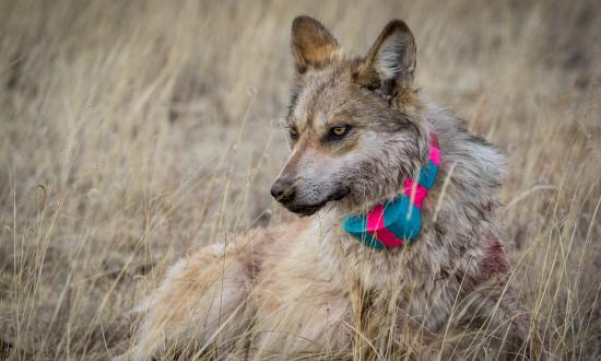Mexican wolf image by Jenna Miller/Cronkite News 2018