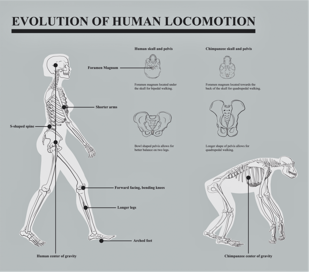 evolution of human locomotion