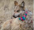 Collared Mexican Wolf, Arizona by Jenna Miller/Cronkite News