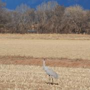 Single Sandhill Crane at Candelaria Farms Albuquerque