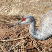 Close up of a Sandhill Crane at Candelaria Farms Albuquerque