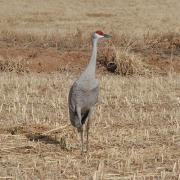 Sandhill Crane at Candelaria Farms Albuquerque
